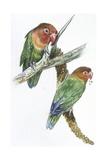 Birds: Psittaciformes, Couple of Fischer's Lovebird (Agapornis Fischeri) Feeding Reproduction procédé giclée