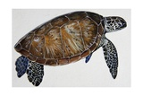 Green Sea Turtle or Pacific Green Turtle (Chelonia Mydas), Cheloniidae Giclee Print