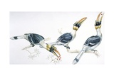 Birds, Coraciiformes, Great Hornbill, (Buceros Bicornis) Feeding Reproduction procédé giclée