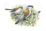Birds: Passeriformes, Couple of Great Grey Shrike (Lanius Excubitor) Impression giclée