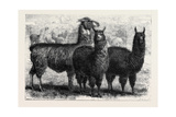Mr. Ledger's Alpacas and Llamas at Sophienburg the Seat of Mr. Atkinson New South Wales Giclee Print