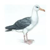 Birds: Procellariiformes, Black-Browed Albatross (Thalassarche Melanophrys) Giclee Print