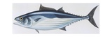 Fishes: Perciformes Scombridae, Skipjack Tuna (Katsuwonus Pelamis) Giclee Print
