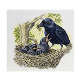 Female Carrion Crow (Corvus Corone) Feeding Her Chicks at Nest, Corvidae Giclee Print