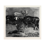 Notes at the Zoological Gardens, Brahmin Bull, Gayal Cow, and Hybrid Heifer and Calf Giclee Print