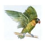 Birds: Psittaciformes, Black-Cheeked Lovebird (Agapornis Nigrigenis) Impression giclée