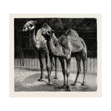 Camels from El-Teb, Soudan (Sudan), at the Zoological Gardens: as They are Now Giclee Print