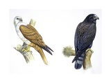 Birds: Falconiformes, Brahminy Kite (Haliastur Indus) and Zone-Tailed Hawk (Buteo Albonotatus) Reproduction procédé giclée