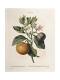 Bitter Orange (Citrus Aurantium) with Violet Fruit by Pierre Joseph Redoute (1759-1840) Giclee Print