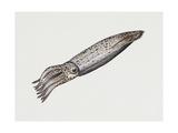 Common Squid or Sea Arrow (Loligo Vulgaris), Loliginidae, Artwork by Rebecca Hardy Giclee Print