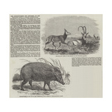 The Choiropotamus and Leucoryx, in the Zoological Society's Gardens, Regent's Park Giclee Print