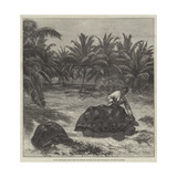 Giant Tortoises, from the Seychelles Islands, for the Zoological Society's Garden Giclee Print