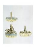Mangroves with Roots Pneumatophores Sonneratia, Brugulera and Rhizophora Digitálně vytištěná reprodukce