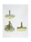 Mangroves with Roots Pneumatophores Sonneratia, Brugulera and Rhizophora Giclee Print