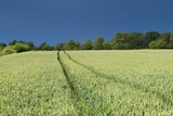 Wheatfield and Tractor Track under Deep Blue Sky, Near Belsay, Northumberland, Uk Photographic Print