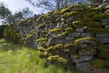 Mosses and Lichens on Drystone Wall, Harnham, Belsay, Northumberland, Uk Photographic Print