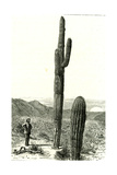 Giant Cactus Arizona 1891, USA Giclee Print