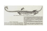 Fossil Plesiosaurus Recently Found at Street, Near Glastonbury Giclee Print