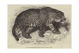 Jaguar, Presented by Her Majesty to the Zoological Society Giclee Print