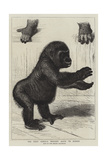 The First Gorilla Brought Alive to Europe Giclee Print