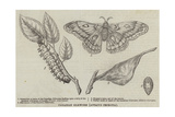 Canadian Silkworm (Attacus Cecropia) Giclee Print