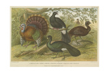 Turkey and Curassows Giclee Print