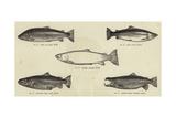 Salmon Giclee Print