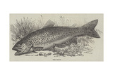The Trout Giclee Print