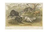 Pigs Giclee Print