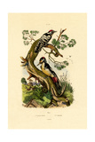 Lesser Spotted Woodpecker, 1833-39 Giclee Print