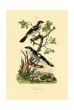 Southern Grey Shrike, 1833-39 Impression giclée