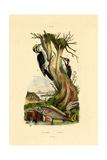 Three-Toed Woodpecker, 1833-39 Giclee Print