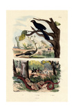 Smooth-Billed Ani, 1833-39 Giclee Print