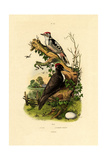 Greater Spotted Woodpecker, 1833-39 Giclee Print