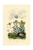 Yellowjacket Hoover Fly, 1833-39 Giclee Print