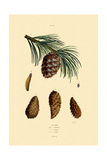 Mountain Pine, 1833-39 Giclee Print