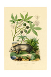 Common Opossum, 1833-39 Giclée-tryk
