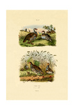 Grey Partridge, 1833-39 Giclee Print