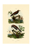 Antbirds, 1833-39 Giclee Print