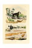 Baboon, 1833-39 Giclee Print