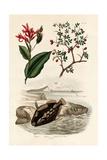 Canna, 1833-39 Giclee Print