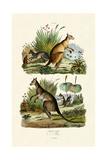Kangaroos, 1833-39 Giclee Print