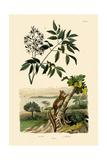 Aye-Aye, 1833-39 Giclee Print