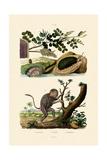 Abalone, 1833-39 Giclee Print