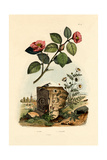 Camellia, 1833-39 Lámina giclée