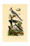 Magpie Jay, 1833-39 Giclee Print