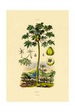 Papaya, 1833-39 Giclee Print