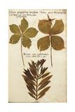 Rhododendron (Solanum Quinquefolium Bacciferum) Leaves Giclee Print