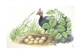 Helmeted Guineafowl Numida Meleagris at Nest with Eggs Lámina giclée