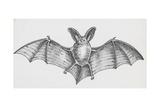 Common Brown Long-Eared Bat (Plecotus Auritus), Chiroptera Giclee Print